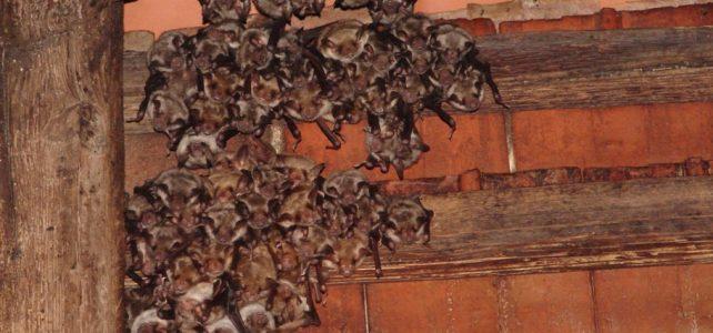 Noc kostelů s netopýry v Bělé pod Bezdězem