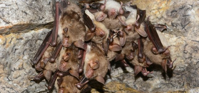 Počítání zimujících netopýrů