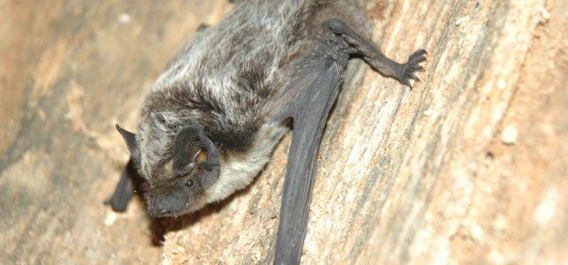 Epidemie koronaviru: máme se bát našich netopýrů?