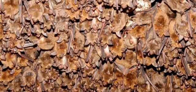 vyzkoušejte si sčítání netopýrů z fotografie