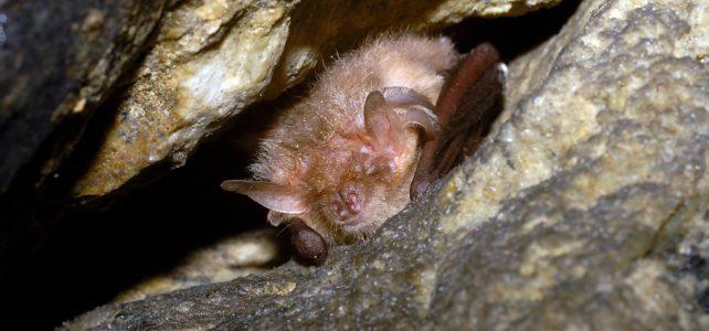 Naši netopýři se na jaře postupně probouzejí, nemusíme se jich ale obávat