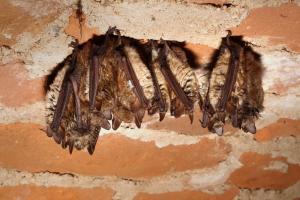 Hibernující netopýři brvití v Josefově