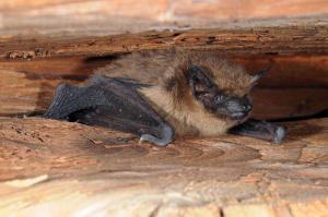 Ve štěrbinách mezi trámy se ukrývají také samice netopýrů večerních.