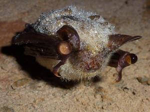 Netopýr velký - při zimování někdy na srsti kondenzuje vlhkost v podobě malých kapek