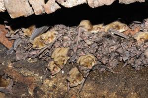 Letní kolonii tvoří samice a jejich mláďata.