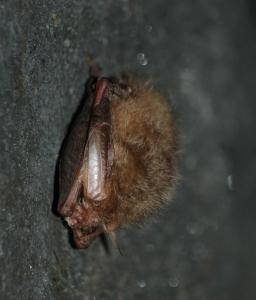 Zimující netopýr ušatý (své dlouhé boltce si skládá pod křídla)