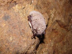 Zimující netopýr vodní pokrytý kapkami sražené vlhkosti.