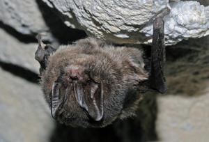 U netopýra černého jsou ušní boltce srostlé nad čelem