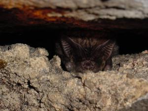 Netopýři černí se při zimování s oblibou ukrývají ve štěrbinách.