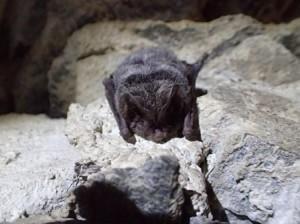 Zimující netopýr černý