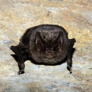 Netopýr černý je nápadný svým zvláštním obličejem, připomínajícím mopslíka.
