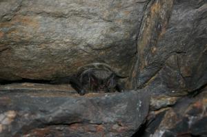 Netopýr černý se s oblibou ukrývá ve štěrbinách.