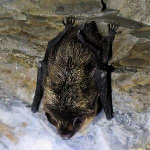 Ve štolách se objevuje i chladnomilný netopýr severní