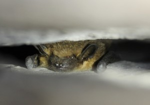 V některých letech na Bečově zimuje také netopýr večerní.