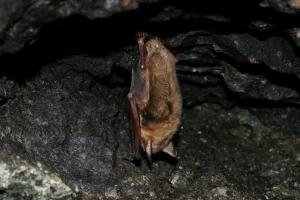 Hibernující netopýr velký (náš největší druh)