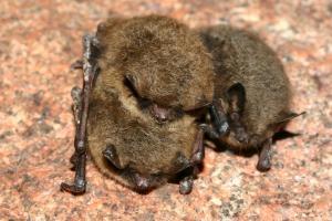 Pro netopýry Brandtovy je tato podzemní lokalita významným zimovištěm
