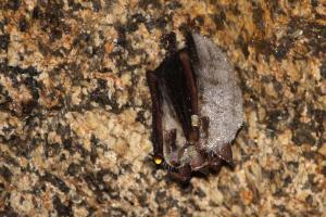 Zimující netopýři velcí ve sklepě vytesaném do žulové skály.