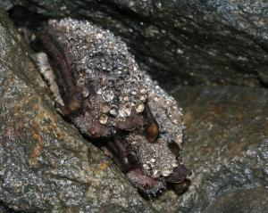 Při hibernaci může na srsti kondenzovat vlhkost - nejen u tohoto druhu, kterým je netopýr vodní
