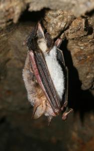 Netopýr velký je při zimování nápadný, obvykle visí volně na stropě či stěně
