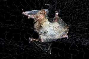 Odchyt do jemné sítě není pro netopýry nebezpečný a umožňuje podrobný výzkum ekologie těchto savců