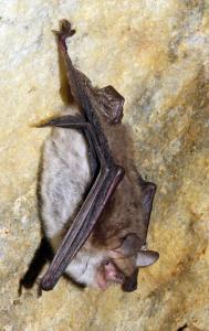 Netopýr řasnatý v Chýnovské jeskyni