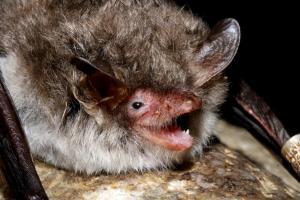 Evropští netopýři se živí hmyzem, v tlamce mají množství drobných zubů (zde netopýr řasnatý)