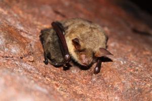 Netopýr velký a podstatně menší netopýr Brandtův zimující v dolu Mauritius
