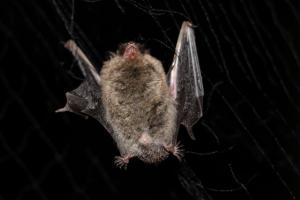 Vzácný netopýr Alkathoe zjištěný na Špičáku při odchytech do sítí