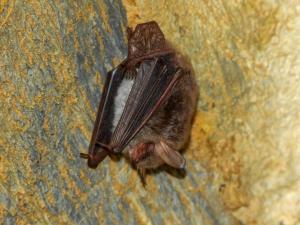 Vzácněji se v podzemí objevuje také netopýr velkouchý