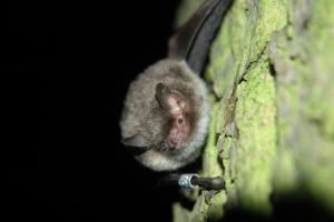 Portrét netopýra vodního - dalšího pravidelného návštěvníka zdejšího podzemí