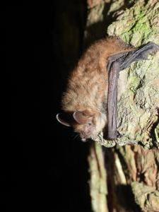 Další z typických druhů Javoříčských jeskyní - netopýr brvitý