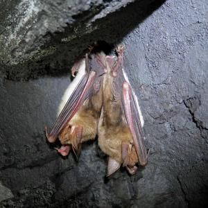 Zimující netopýři velcí ve Flascharově dolu