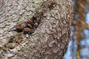 Dutinu borovice v areálu zoo obývají netopýři rezaví