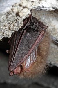 Příbuzný netopýr ušatý si své dlouhé boltce skládá při zimování pod křídla