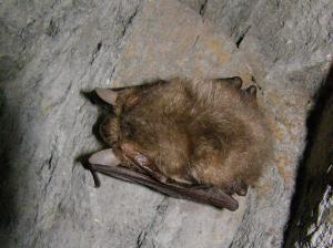 Netopýr ušatý si při zimování skládá své velké boltce podél těla.