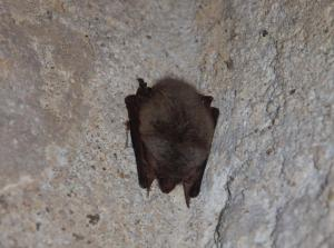 V Chotěšově zimuje také blízce příbuzný druh - netopýr dlouhouchý.