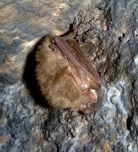 Netopýr dlouhouchý (i ušatý) si při zimování skládá své velké boltce podél těla.