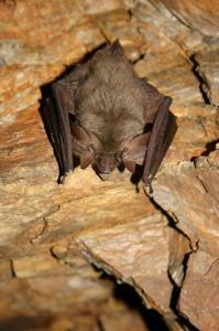 Při zimování si netopýr dlouhouchý skládá své velké boltce podél těla.