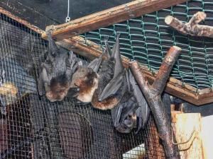 Kaloň rodriguezský - zcela vpravo samice s mládětem