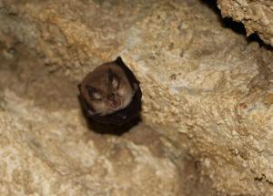 Vrápenci se v jeskyních objevují také v období přeletů a rojení