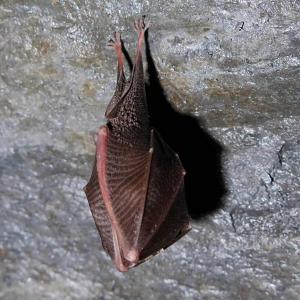 Vrápenec malý se při zimním spánku balí do svých křídelních blan
