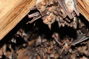 V Jevišovicích každoročně pobývá několik set samic. Každá má však jen jedno mládě.