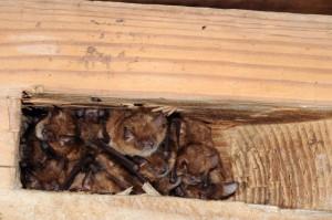 kolonie netopýra brvitého