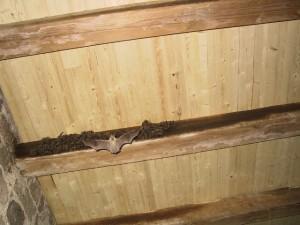 Kolonie netopýrů sídlí na stropě předposledního podlaží veže.