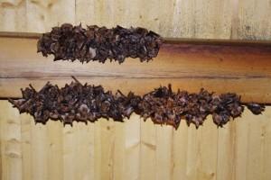 Samice netopýra velkého s odroslými mláďaty.