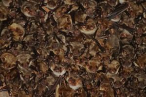 Kolonie netopýrů velkých zblízka.