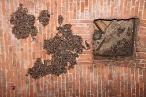 Kolonie netopýrů velkých na stropě sklepení.