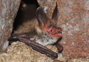 Vzácný návštěvník podzemí - netopýr velkouchý
