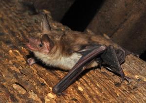 Na půdě zámku v létě sídlí kolonie netopýrů velkých.