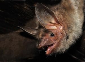 Pohled do tváře netopýra velkého.
